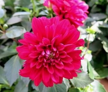 ダリアの花言葉:整理整頓