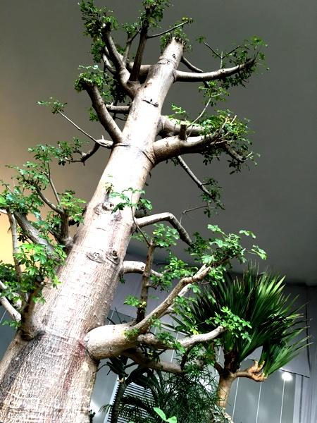 やっぱり美しいバオバブの木。星の王子様。