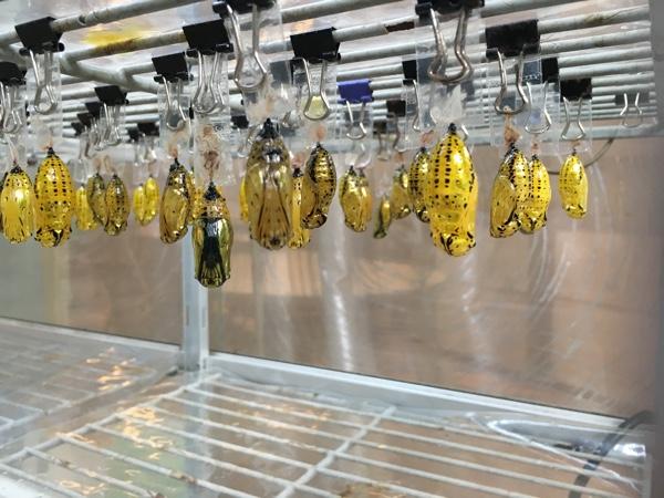 ハイジュエリー売り場のような輝き。黄金のさなぎ。