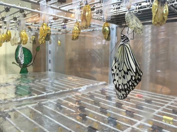 今、飛び立とうとする蝶々。あとは種を保存するだけ。