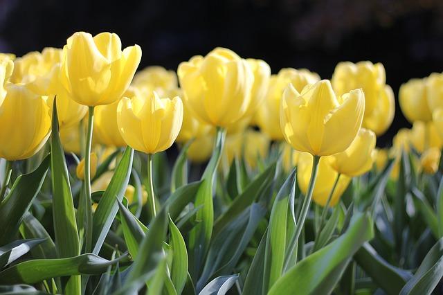 tulips-1083572_640